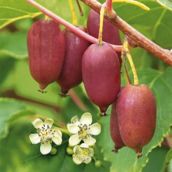 Trauben - KiwiBerry® 'Red Jumbo'