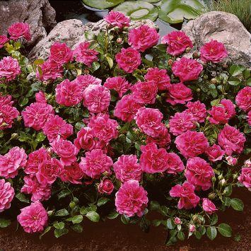 Bodendecker-Rosen 'San Remo', pinkrosa