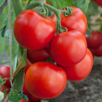 'GartenMeister' F1 - Freiland-Tomate