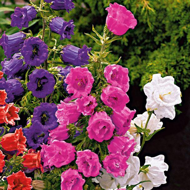 Glockenblumen, rosarot