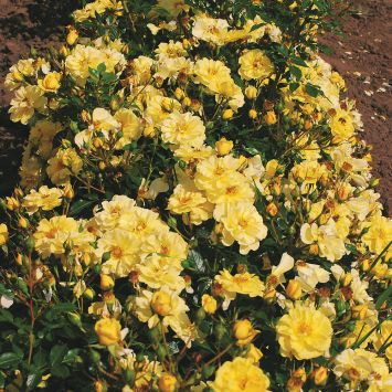 'Bienenweide®', gelb