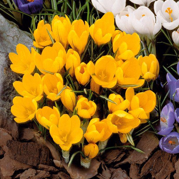 Großblumige Krokusse, goldgelb