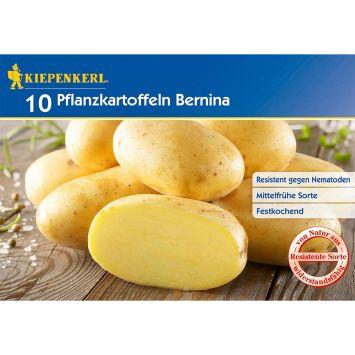 Pflanzkartoffeln Bernina, Mittelfrüh, 10 Knollen