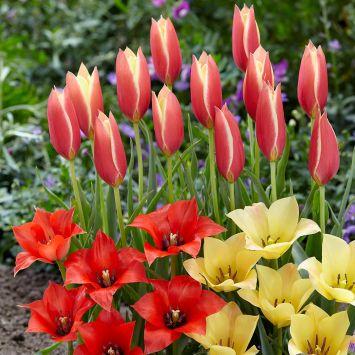 Tulpenmix Sonnenschein