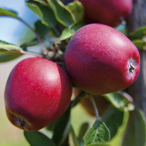 Apfel 'Mariella'
