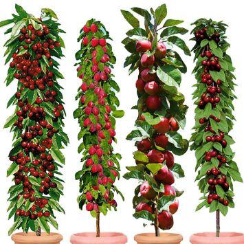 Set-Angebot 4 Säulenobst-Bäume: Victoria, Ruby, Redcats®, Jachim