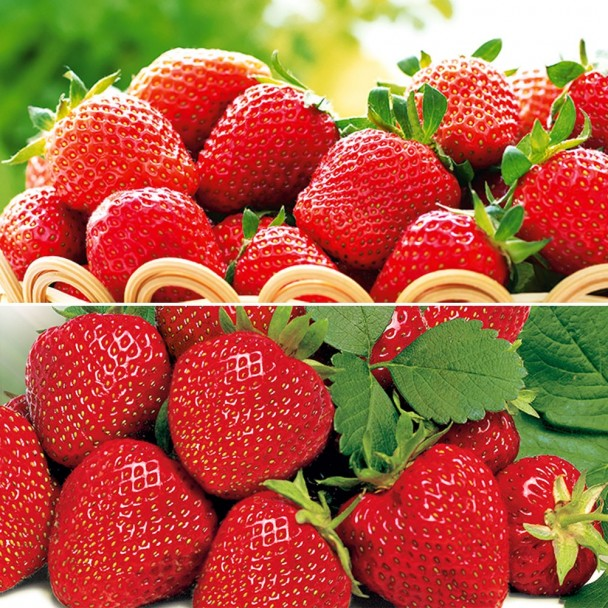Edel-Duo: 20 Erdbeerpflanzen als Topfpflanzen