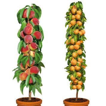 Set-Preis: Säulenobstbäume 1 Aida + 1 Golden Sun 1j.