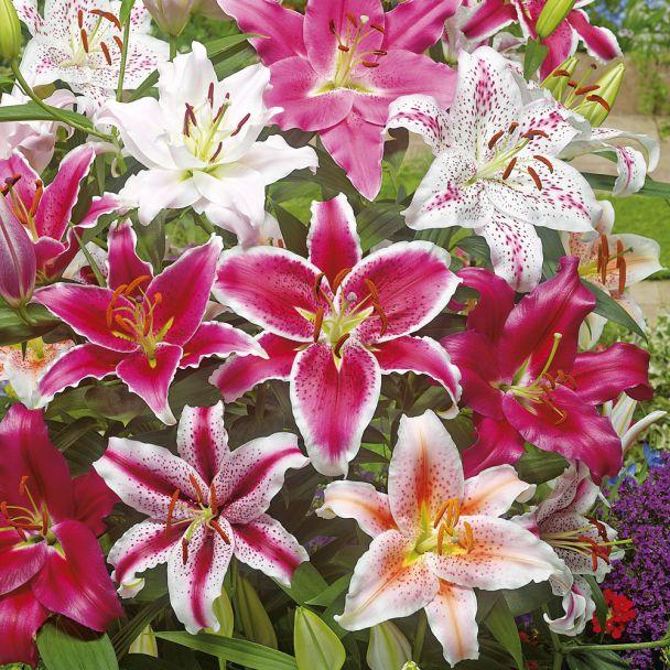 Orientalische Lilien-Mischung