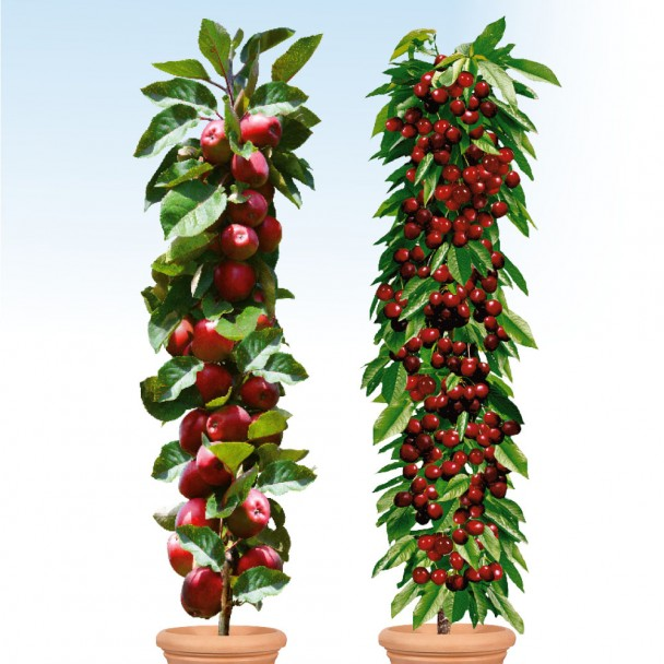 2 Säulen-Bäume einjährig: 1x Redcats, 1x Victoria