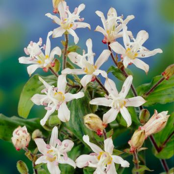 Kröten-Lilien 'Lilly Paradise', weiß
