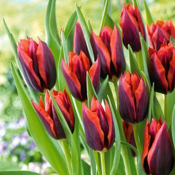 Tulpe Triumph Slawa