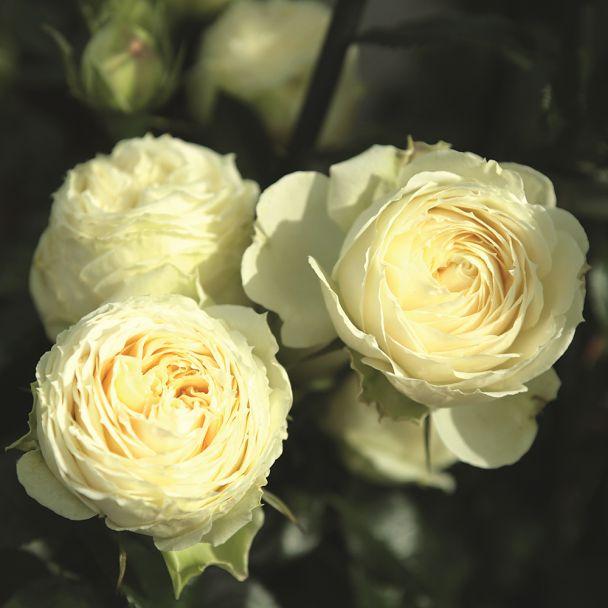 'Lemon-Rokoko®' Rose