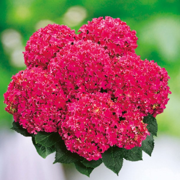 Hortensie 'Curly® Sparkle Red'