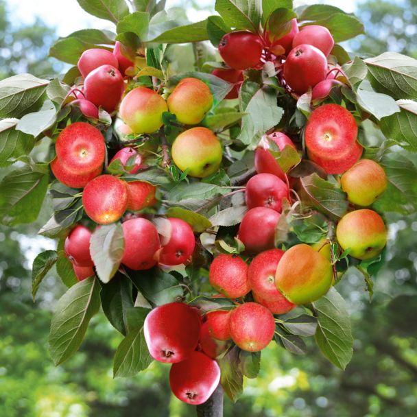 'Happy Family' - der Apfel-Familienbaum