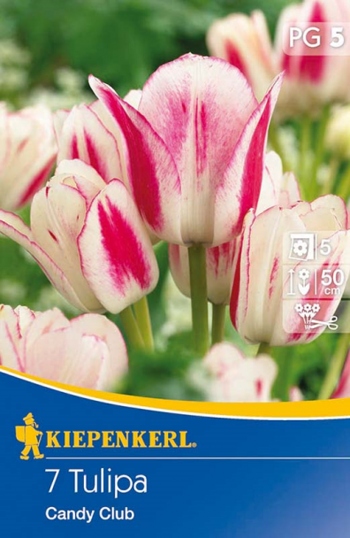 Tulpe `Candy Club` - Blumenzwiebel