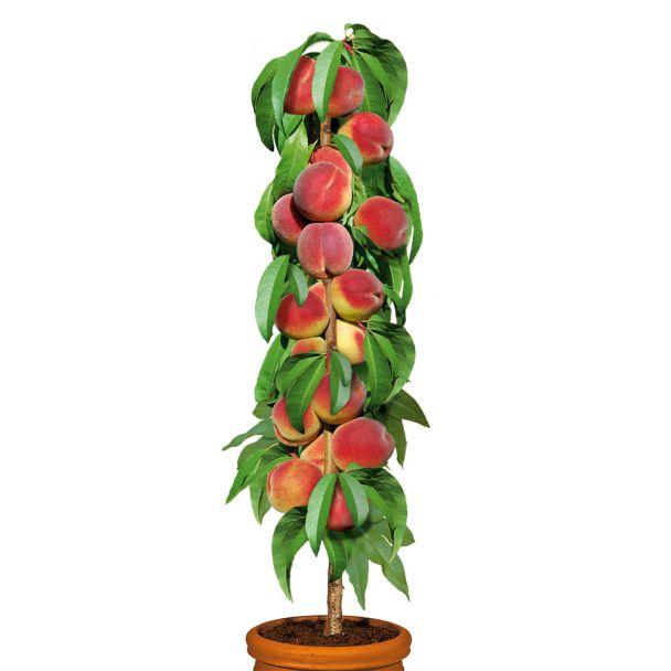 Säulenobstbaum Pfirsich 'Aida', einjährig