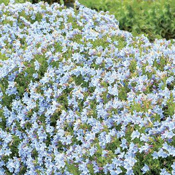 Steinsame 'Crystal Blue'