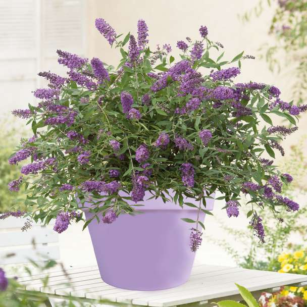 Zwergflieder 'Purple Lion'