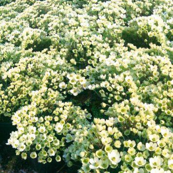 Weiße Bodendecker-Zwerg-Clematis 'Ovation®'