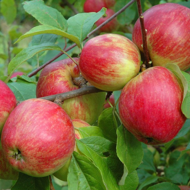 Herbstapfel 'Schöner von Herrnhut'