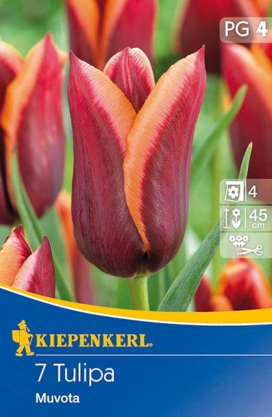 Tulpe `Muvota` - Blumenzwiebel