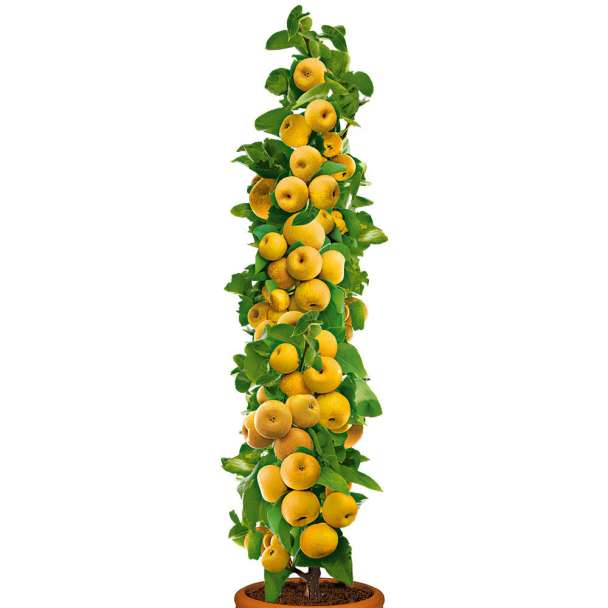 Säulenobstbaum Champagner-Birnen-Apfel 'ProSecco'®, einjährig