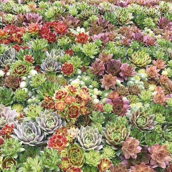 Sempervivum-Mix