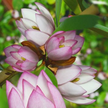 Fairy Magnolia® Blush