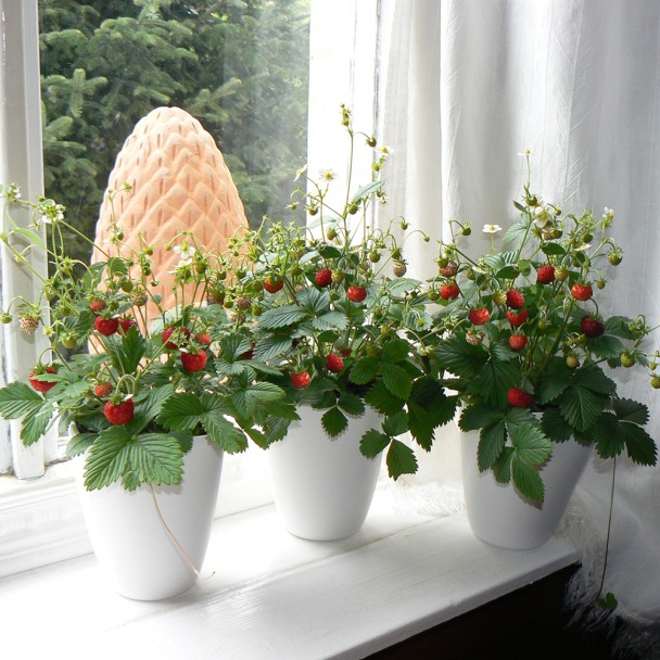 Küchen-Erdbeere Fontaine®
