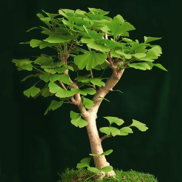Ginkgo Biloba - Baum des Jahrtausends