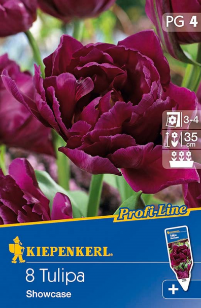 Tulpe `Showcase` - Blumenzwiebel