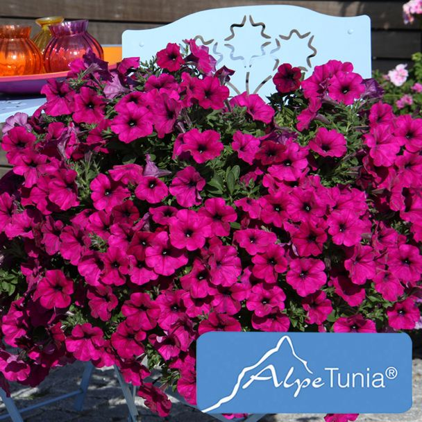 AlpeTunia® Dark Purple