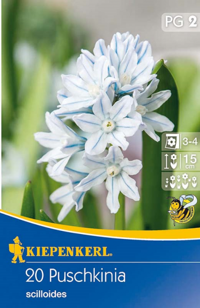 Porzellanblümchen Puschkinia `scilloides`