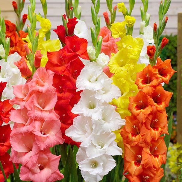Gladiolen Pastell-Mischung