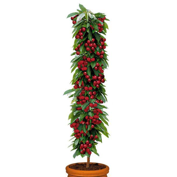 Säulenobstbaum Sauerkirsche 'Rubina', zweijährig