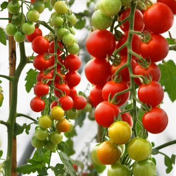 'CherryLady' F1 - die rote Cherry-Tomate
