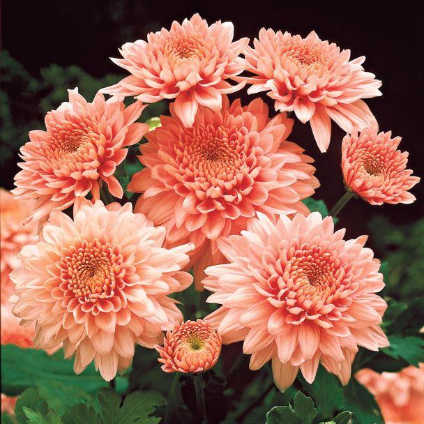 Garten-Chrysanthemen 'Shippi Apricot'