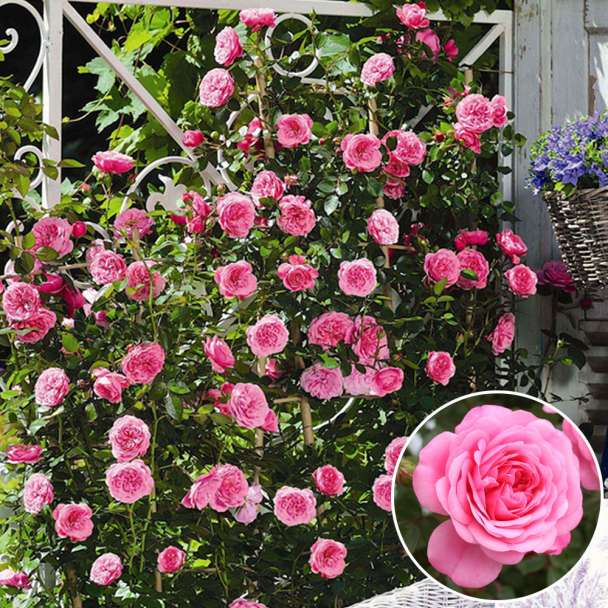 Starlet® Miniclimber-Rose 'Eva®'