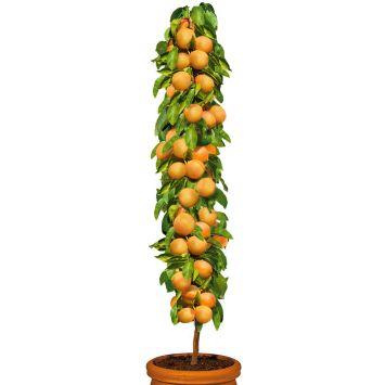 Säulenobstbaum Aprikose 'Golden Sun', zweijährig
