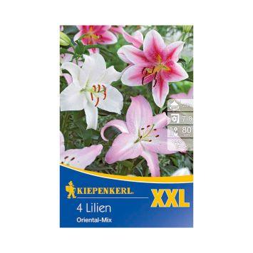 Orientalische Lilien XXL Mischung