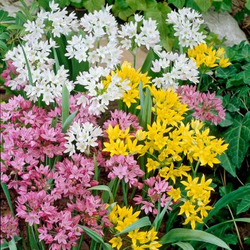 Bunter Allium-Mix