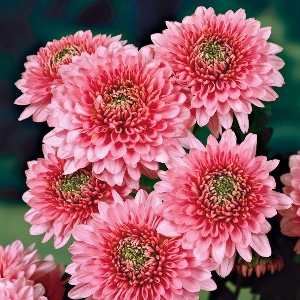Garten-Chrysanthemen 'Sonja'