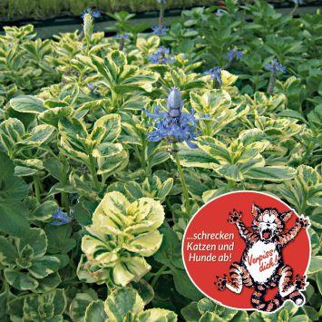'Verpiss-Dich®-Pflanze', buntes Laub