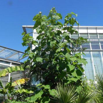Kiribaum Paulownia - Der Klimabaum