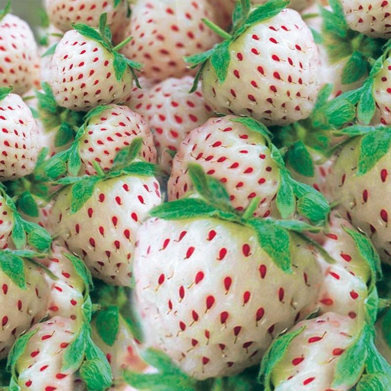 Weiße Ananas-Erdbeere 'Snow White®', Setzlinge